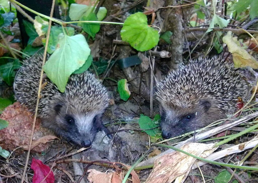 Two young hedgehogs in the garden