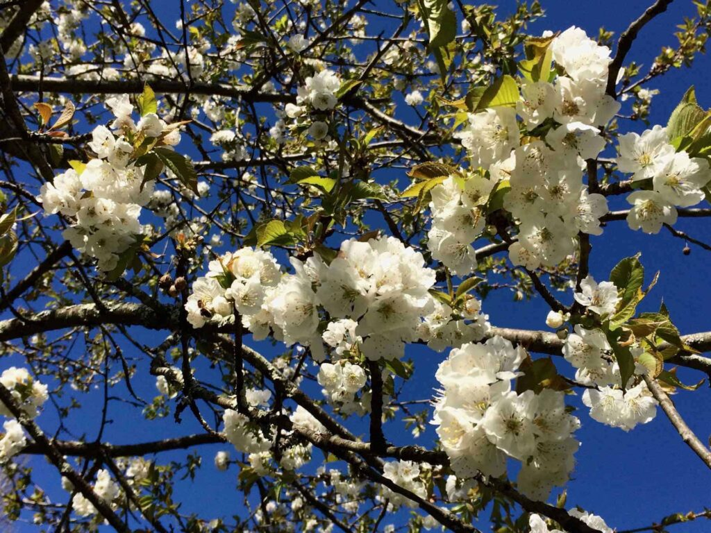 Fleurs de cérisier en printemps