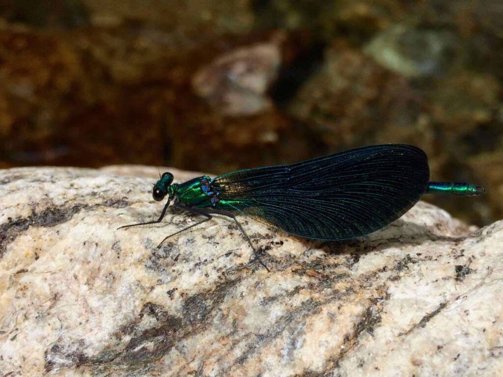 Damselfly on a rock in the river