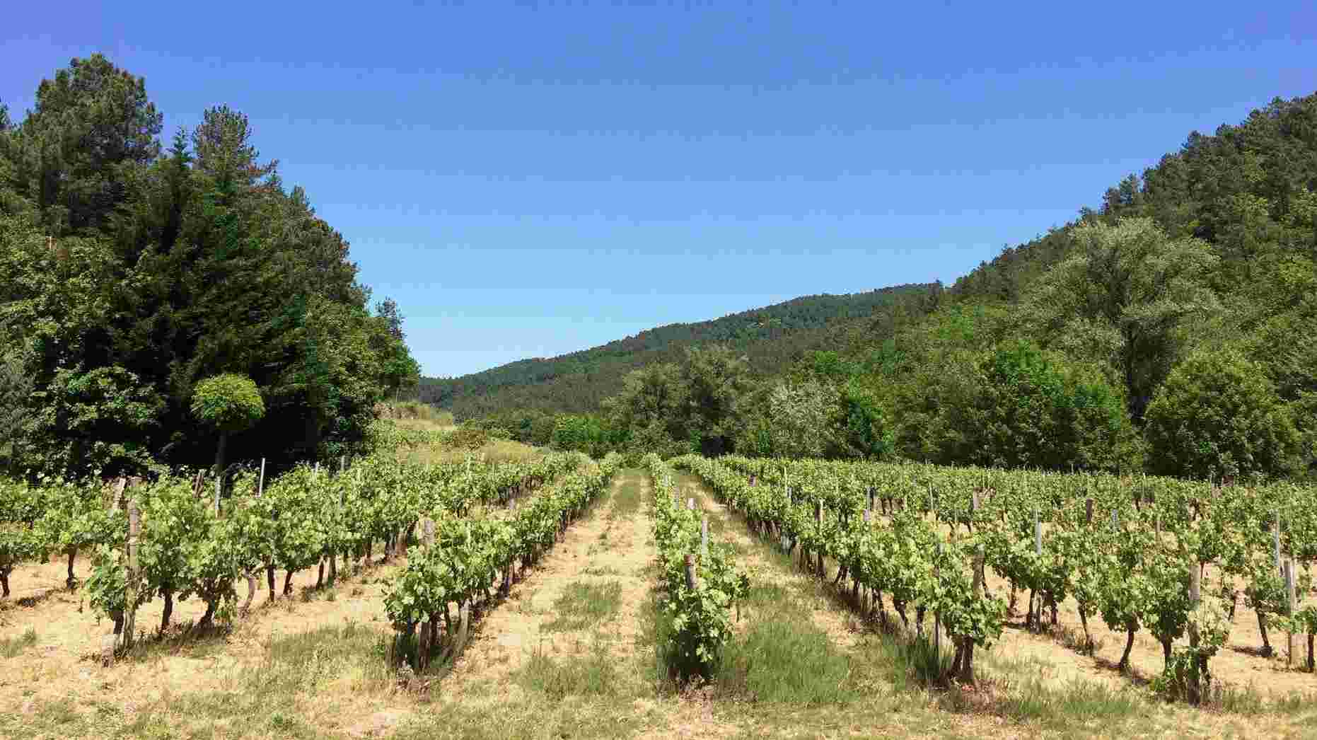 Vineyard on the domain